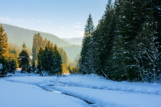 frozen and snow covered mountain river. carpathian winter landscape in afternoon light. spruce forest on the river bank.