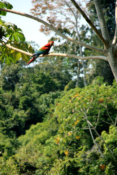 Macaw sitting on a Tree in the Amazon Rainforest, Tambopata National Reserve, Puerto Maldonado, Peru