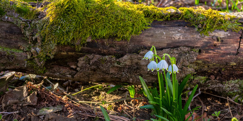 snowflake bloom in the forest. spring scenery with first flowers. sunny weather. moss covered fallen tree in the background