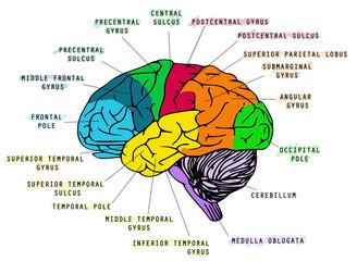 Human brain's anatomy
