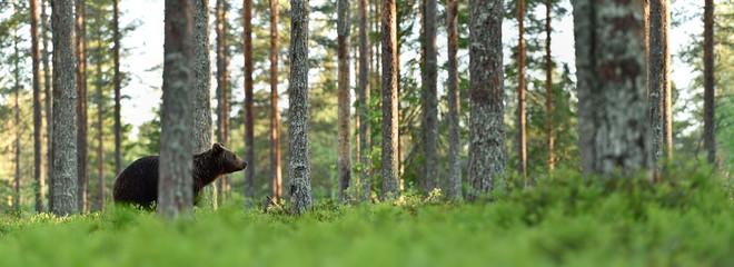Keuken foto achterwand Pistache brown bear in forest landscape