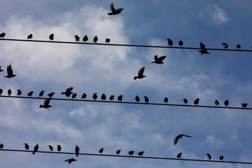 Starlings perch on power lines near Kiryat Gat, southern Israel