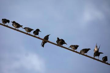 Starlings perch on a power line near Kiryat Gat, southern Israel