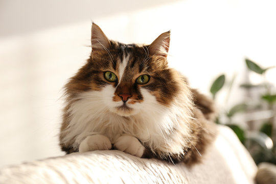 Portrait of cute siberian cat with green eyes lying on the back of white textile sofa at home. Soft fluffy purebred long hair straight-eared kitty. Background, copy space, close up.