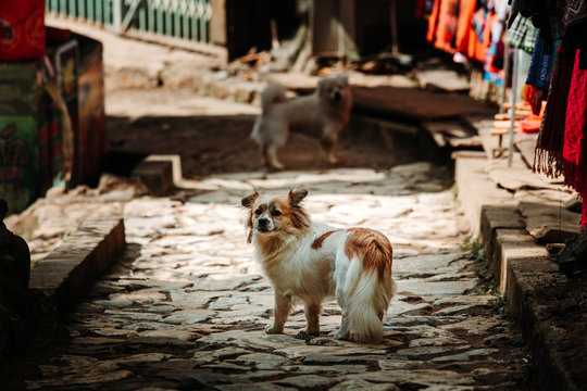 Stray dog stood stationary looking back towards the camera in a small cobbled street in the mountain village of Sapa, Northern Vietnam