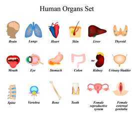 A set of human organs. Brain, Heart, Lungs, Spine, Liver, Skin, Stomach, Colon, Kidney, Bladder, Thyroid, Mouth, Eye, Vertebra, Bone, Tooth, Female reproductive organs, genitalia. Icons. Infographic