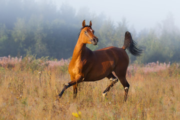 Chestnut arabian horse runs free across the field in the misty summer morning