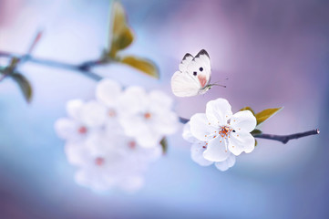 Wall Mural - Beautiful white butterfly and branch of blossoming cherry in spring on blue and violet lilac background macro. Amazing elegant artistic image nature in spring, sakura flower and butterfly.