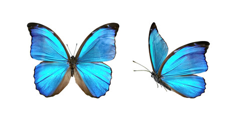 Set two beautiful blue tropical butterflies with wings spread and in flight isolated on white background, close-up macro. Fotobehang