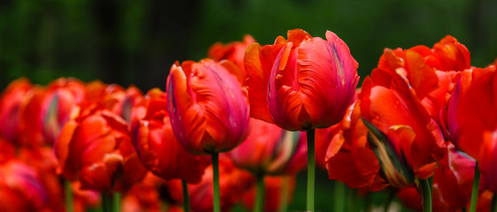Fotobehang Tulp Red flower of tulip sort Parrot (Rococo). Hybrids of tulips - a beautiful spring bulbs. Growing bulbous flowers in the garden.