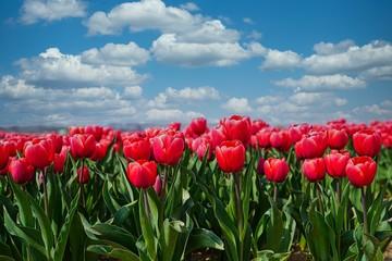 Keuken foto achterwand Tulp tulip field of red tulips