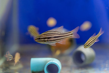 Wall Mural - Black Striped Cardinalfish..(Apogon spp.)