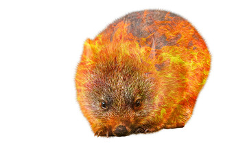 Wall Mural - Composition about wombat wildlife in the Australian bushfires in 2020. A wombat with fire isolated on white background. Vombatus ursinus species