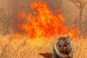 Wall Mural - Composition about Australian wildlife in bushfires of Australia in 2020. Wombat with fire on background. January 2020 fire affecting Australia is considered the most devastating and deadly ever seen