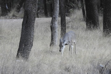 Coues deer doe roaming the Chirachua Mountain wilderness in southeastern Arizona.