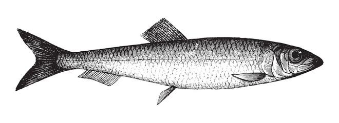 Atlantic herring (Clupea harengus) / vintage illustration from Brockhaus Konversations Lexikon 1908