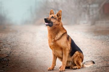 german shepherd dog beautiful portrait magic light walk with dogs Fotomurales