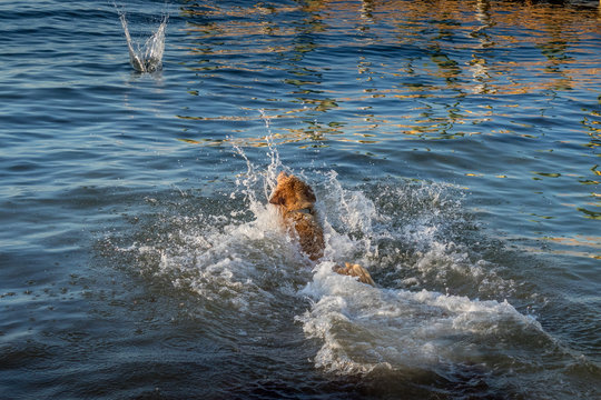 Dog jumping in the water to fetch a coconut at  Key Largo, Florida