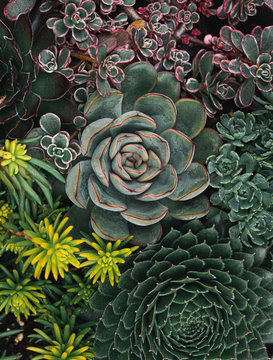 Close up of a variety of succulent cactus plants shot from above.