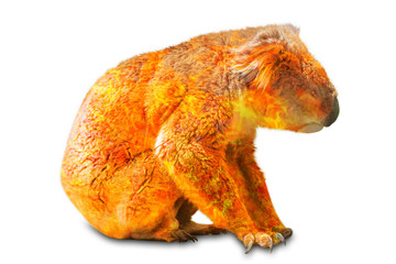 Wall Mural - Composition about Koala wildlife in the Australian bushfires in 2020. Koala with fire isolated on white background side view. Typical animal living in eucalyptus forests in Victoria of Australia.