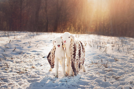 twin baby lambs outside in the snow