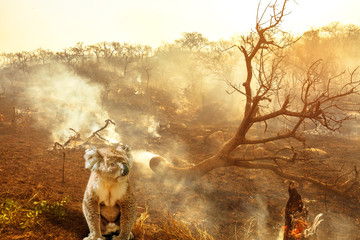 Composition about Australian wildlife in bushfires of Australia in 2020. koala with fire on background. January 2020 fire affecting Australia is considered the most devastating and deadly ever seen