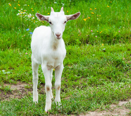 Fototapete - A young white goat on green grass in summer day