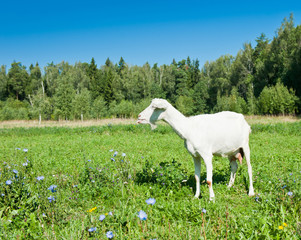 Fototapete - Funny white goat puts out its tongue on green grass near the forest