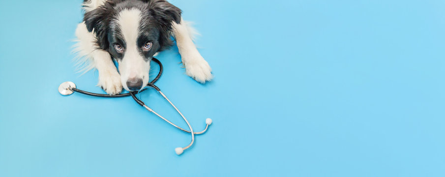 Puppy dog border collie and stethoscope isolated on blue background. Little dog on reception at veterinary doctor in vet clinic. Pet health care and animals concept Banner