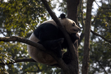 Wall Mural - Panda Bear Sleeping on a Tree Branch, China Wildlife. Bifengxia nature reserve, Sichuan Province. Cute Lazy Baby Panda Sleeping in the Forest, Enjoying an afternoon nap curled into a ball shape.