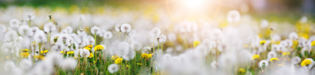 Foto op Aluminium Wit Green field with white and yellow dandelions outdoors in nature in summer