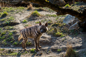 Striped hyena male