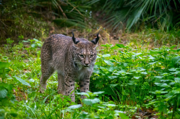The Iberian lynx (Lynx pardinus)