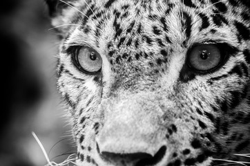 In de dag Luipaard The Persian leopard (Panthera pardus tulliana), also known as Caucasian leopard,[2] is a leopard subspecies occurring from Turkey and the Caucasus via Iran into Afghanistan and Central Asia.