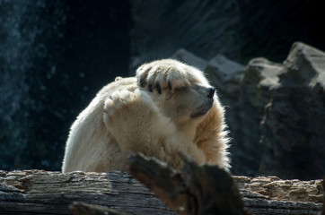 Poster Ijsbeer The polar bear (Ursus maritimus)