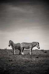 Aluminium Prints Zebra Two zebras in the Addo Elephant National Park, near Port Elizabeth, South Africa