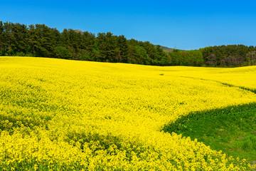 Foto auf AluDibond Gelb 【青森県横浜町】北国の春、菜の花の絨毯