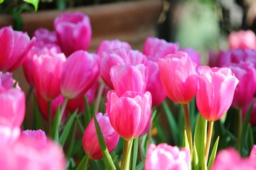 Poster Rose the beautiful pink tulips in garden.the pastel pink color on flwer leaves.