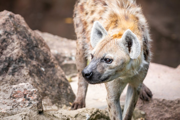 Garden Poster Hyena Close up of a wild hyena walking among between rocks and looking sideways against a brown bokeh background