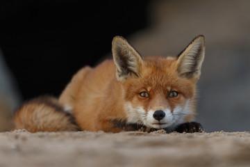 Red fox portrait picture in nature