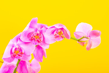 Self adhesive Wall Murals Orchid pink orchidee flower on yellow background