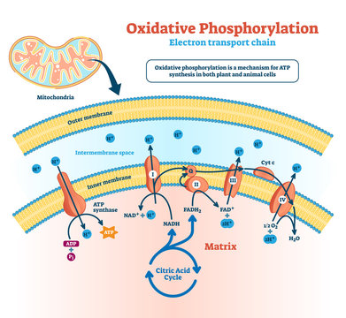 Oxidative phosphorylation vector illustration. Labeled metabolism scheme.