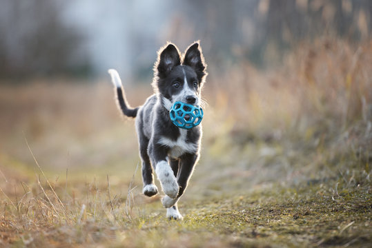 happy border collie puppy running outdoors with a toy ball in mouth