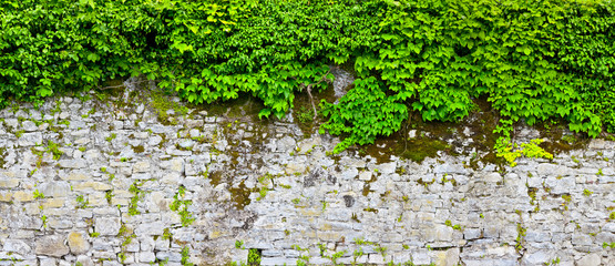 Old overgrown castle wall with wild wine