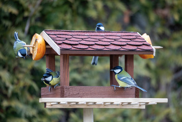 beautiful small garden bird great tit - Parus major and Eurasian blue tit - Cyanistes caeruleus, feeding in winter time in bird feeder. Winter day on garden Fotomurales