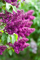 Spoed Foto op Canvas Lilac A branch of a flowering flowers lilac