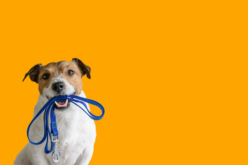 Zelfklevend Fotobehang Hond Dog sitting concept with happy active dog holding pet leash in mouth ready to go for walk