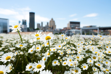 Zelfklevend Fotobehang Madeliefjes Spring flowers on roof top in front of city skyline of montreal canada
