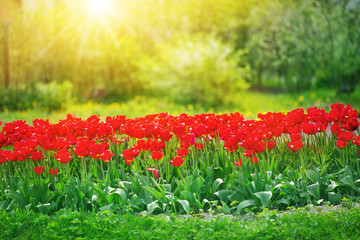 Wall Mural - Red tulips in flowerbeds in the garden in spring