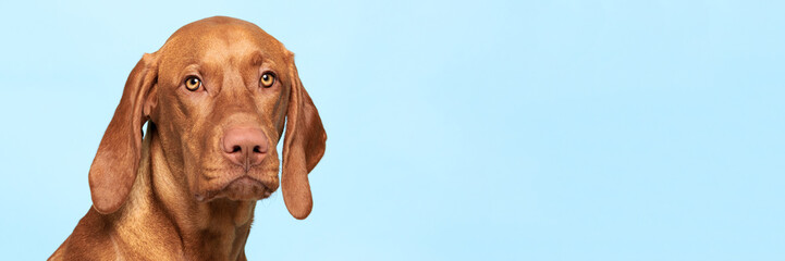 Cute hungarian vizsla dog studio portrait. Dog looking at the camera headshot over blue background banner.